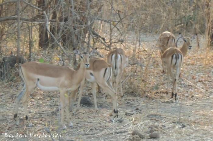 Impalas (females)