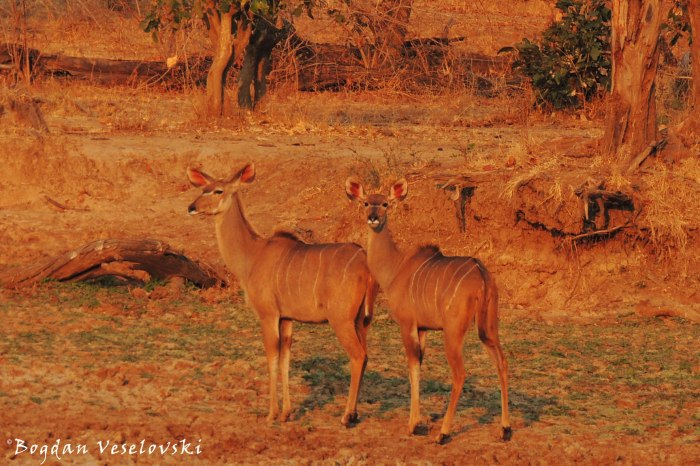 Kudu (females)