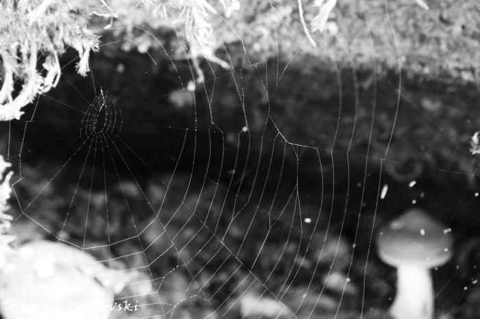 Cobweb mashroom
