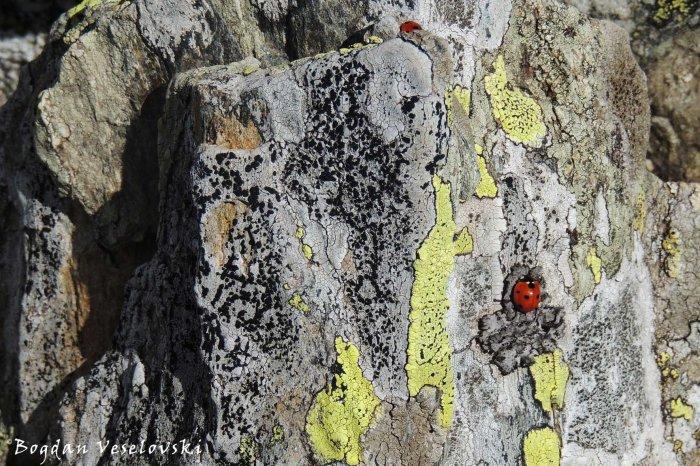 Alpinist ladybug