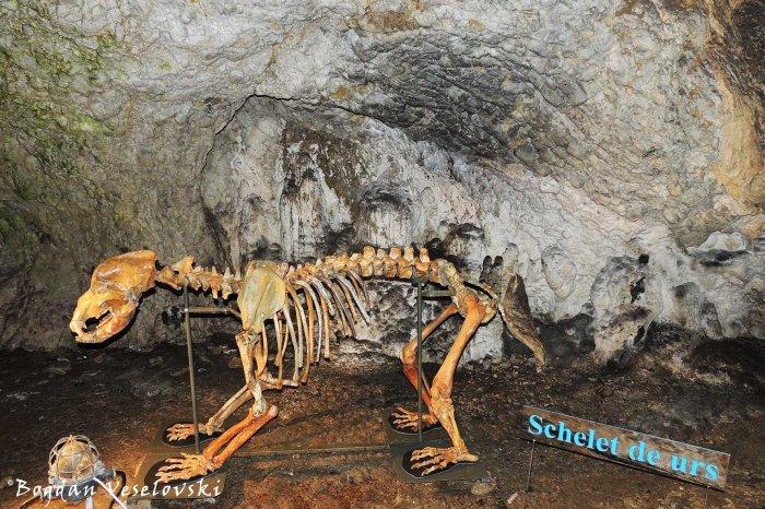 Ursus Spelaeus from Peștera Muierii (Women's Cave)
