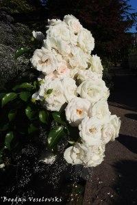 Roses in Trädgårdsföreningen