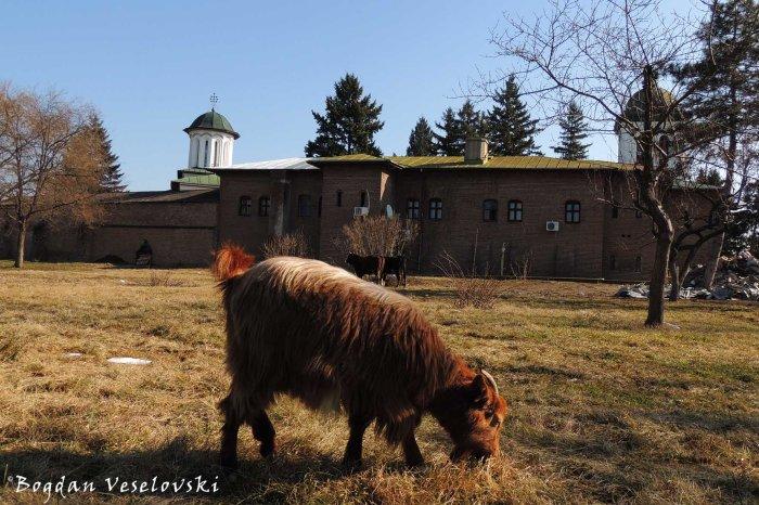 Plumbuita Monastery - goat