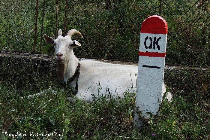 The goat is OK