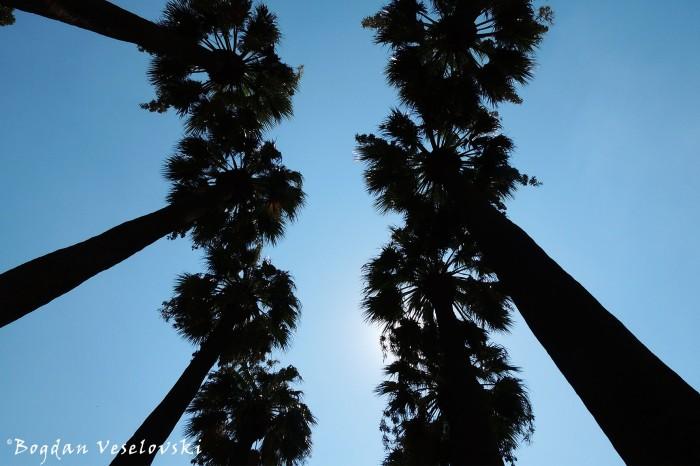 Washingtonia Palms, Athens