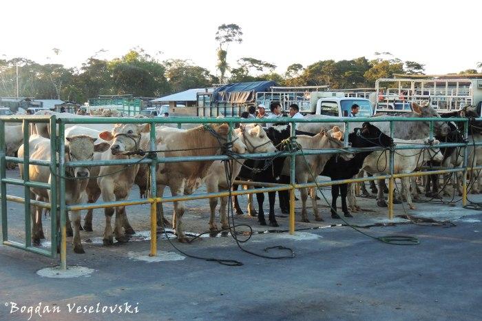 Cattle fair in Santa Rosa