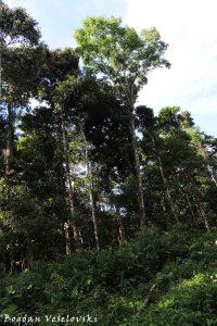 Amazonian trees