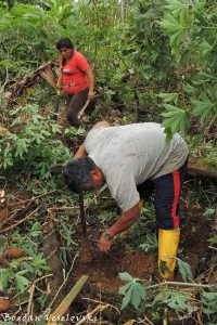 Digging for yucca (cassava)