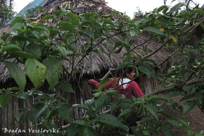 Aji. Jimia (red pepper)