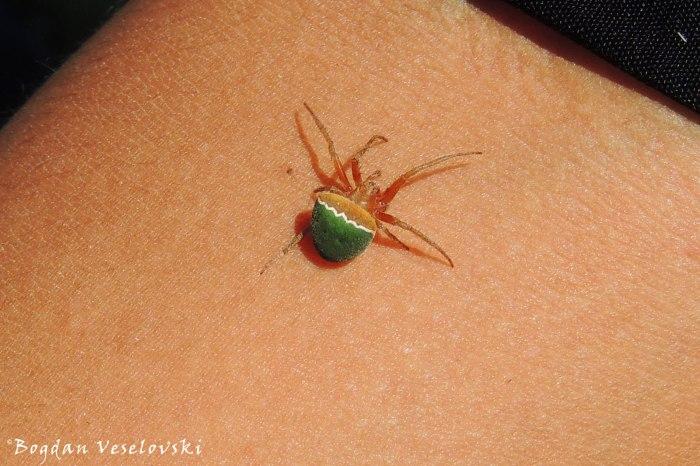 Araña (spider)