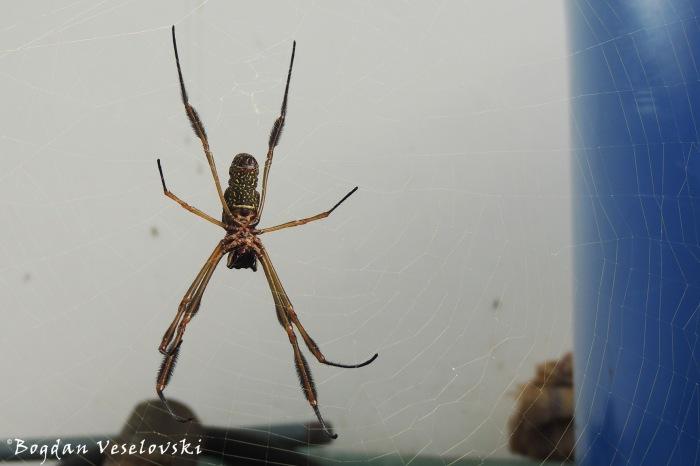 Araña. Tsere (spider)