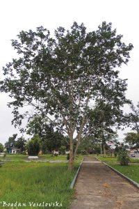 Árbol de guaba. Wampa (ice-cream bean tree. Inga edulis)