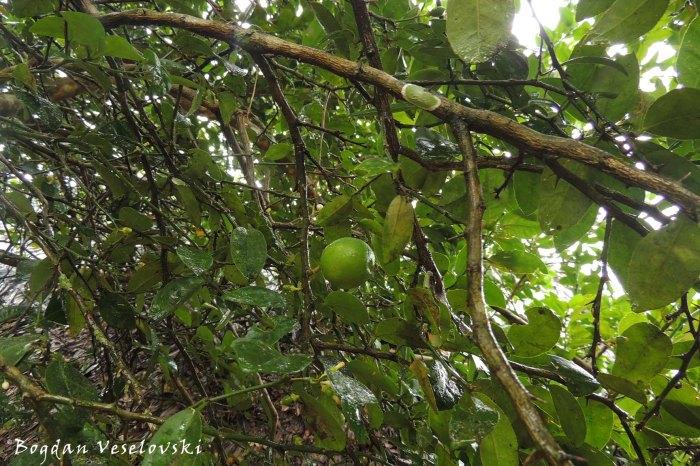 Árbol de limon (lemon tree)