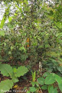 Árbol de membrillo (quice tree)