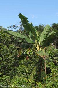 Árbol de plátano. Champiar (plantain tree)