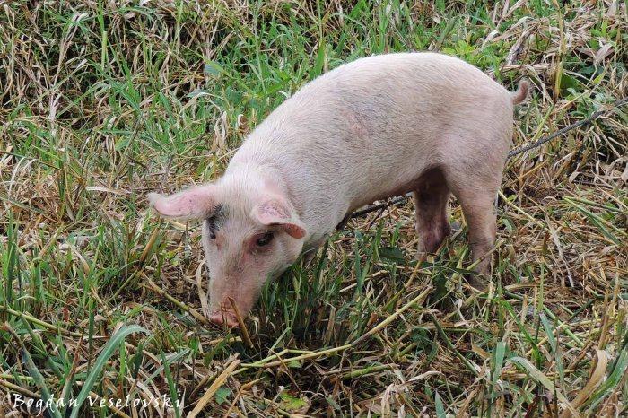 Chancho (pig)