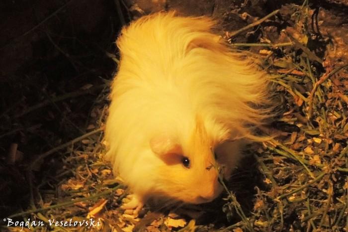 Cuy. Kuwi (guinea pig)