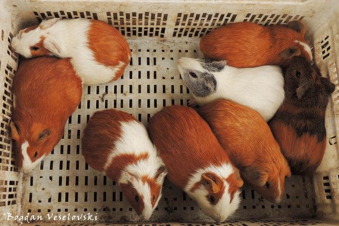 Cuy. Kuwi (guinea pigs)