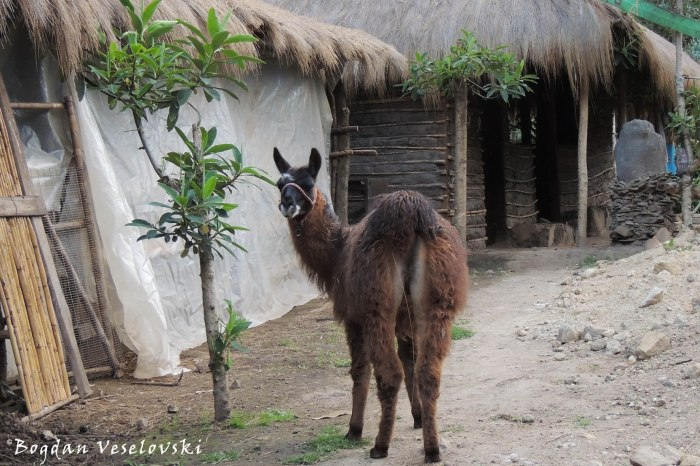 Llama (from Sierra)
