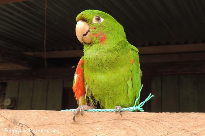 Loro. Awarmas (parrot)