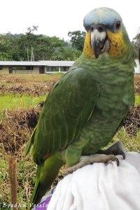 Loro. Kawa (parrot)
