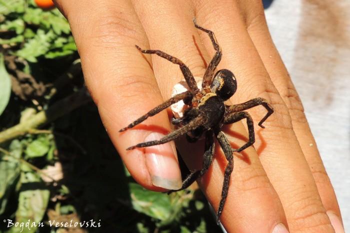 Mama tarantula