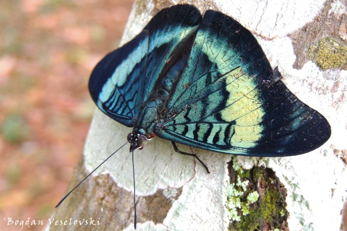 Mariposa. Wampiashuk (butterfly)