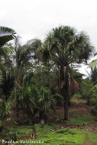 Morete. Achu (moriche palm. Mauritia flexuosa)