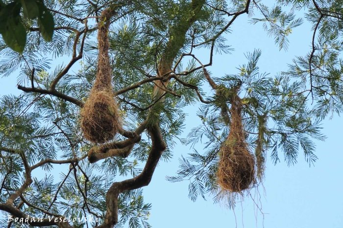 Nests of yellow-rumped cacique