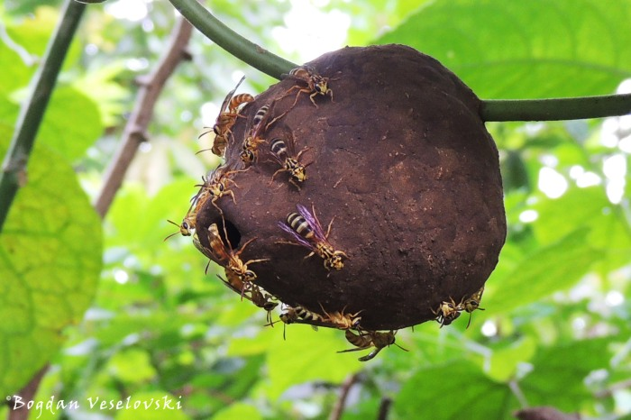 Nido de avispa (Wasp nest)
