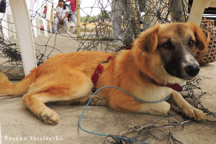 Perro. Yawa (dog)