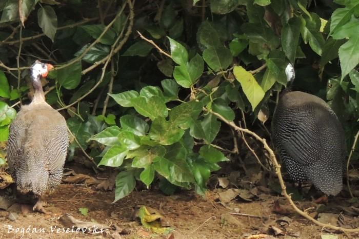 Pintadas, gallinas de Guinea (guineafowls)