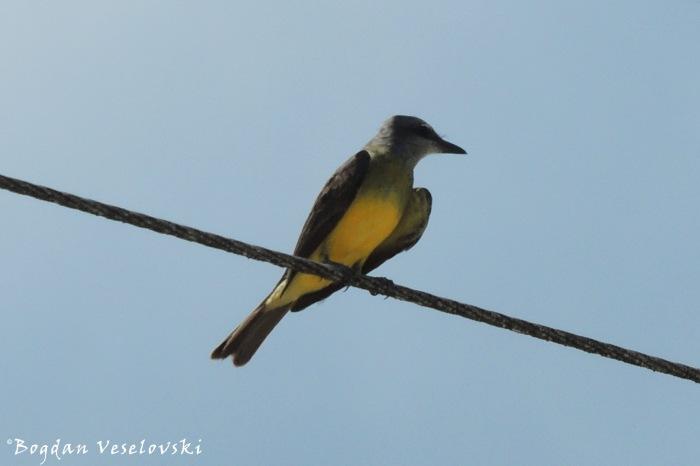 Piriris (tropical kingbird. Tyrannus melancholicus)