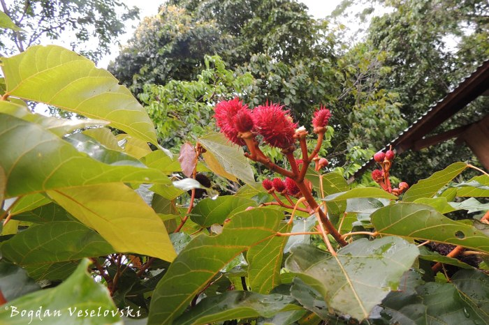 Planta de achiote. Ipiak (achiote, lipstick tree. Bixa orellana)