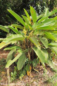 Platanillo (Heliconia)