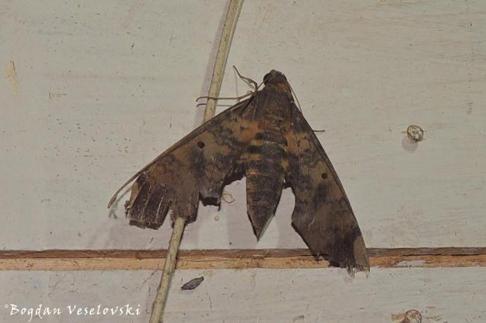 Polilla (moth)
