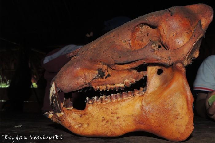Sajino. Paki (peccary skull)