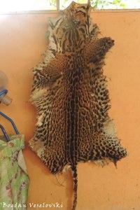 Tigrillo. Yantana (ocelot. Leopardus pardalis)