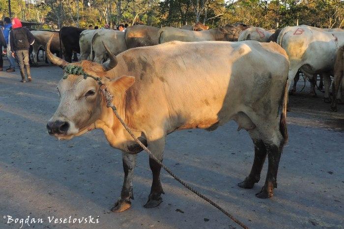 Vaca. Waaka (cow)
