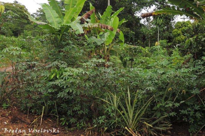 Yuca. Mama (cassava. Manihot esculenta)