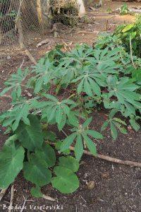 Yuca & papachina (cassava & taro)
