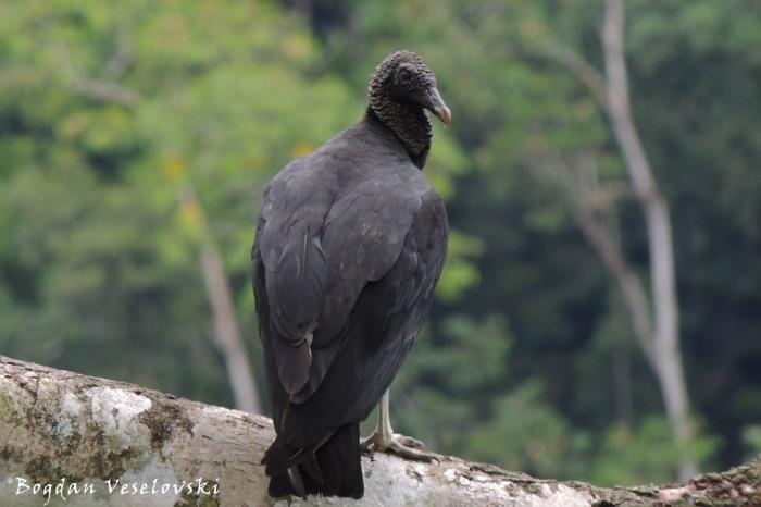 Zopilote negro; gallinazo. Chuank (black vulture. Coragyps atratus)