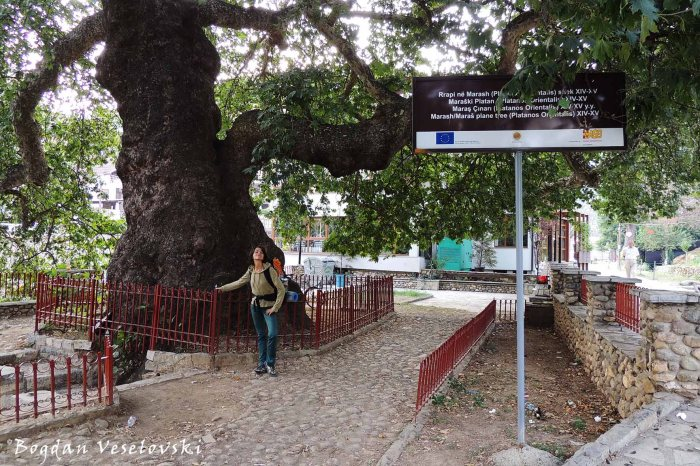 Marash plane tree (Platanis Orientalis) sec. XIV-XV