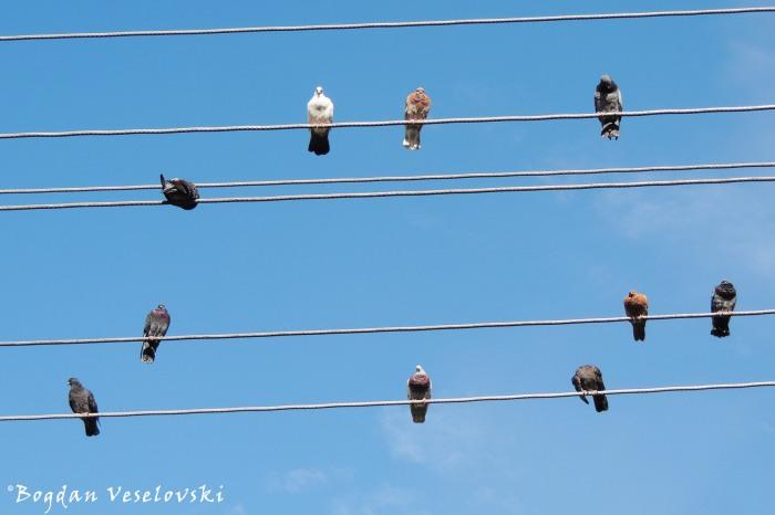 Pigeon abacus
