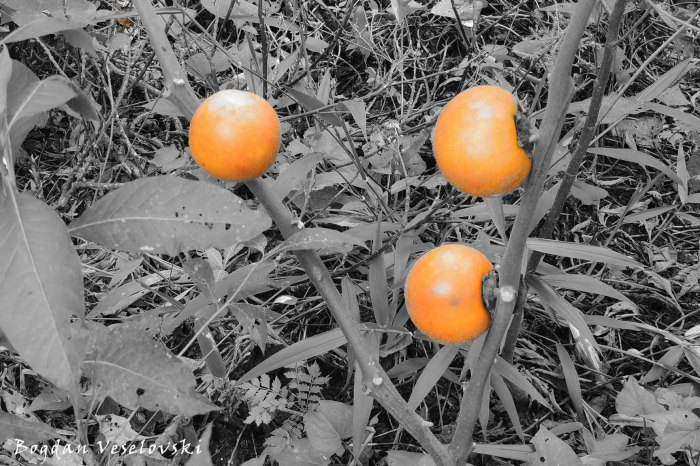 Naranjillas