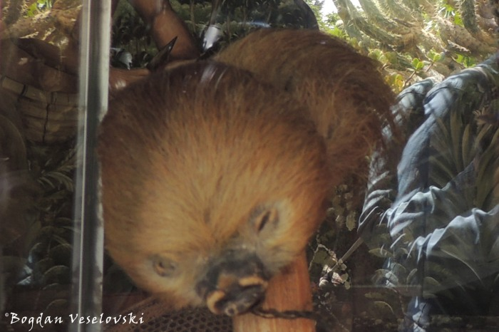 Shrinked head of a sloth